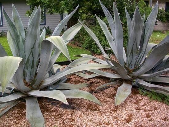tipo de agave sp